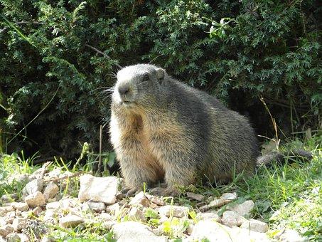 Marmot, Alpine, Alpine Marmot, Rodent, Mountain