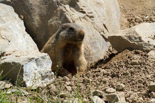 Marmot, Rodent, Alpine Marmot, Alpine, Marmota