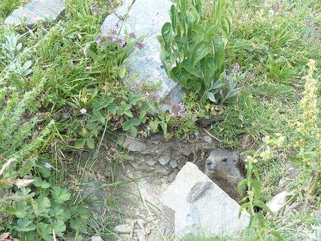 Alpine Marmot, Animal, Marmota Marmota, Marmot, Alpine
