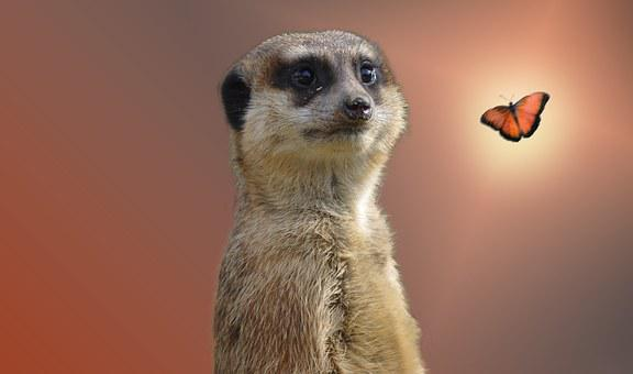Meerkat, Animal, Zoo, Nature, Curious, Mammal, Cute