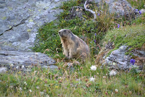Marmot, Alpine, Grossglockner, Tauern, Mountain Meadow