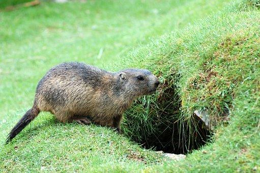 Marmot, Meadow, Alpine Marmot, Rodents, Mountain Meadow