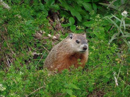 Marmot, Nature Parc National Forillon, Nature