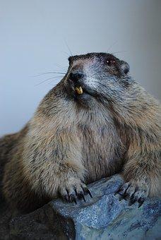 Marmot, Stuffed, Old, Tooth, Biter