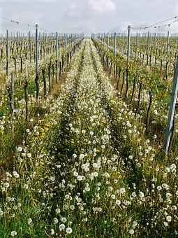 Vineyard, Natural, Series, Direction, Upward, Spring