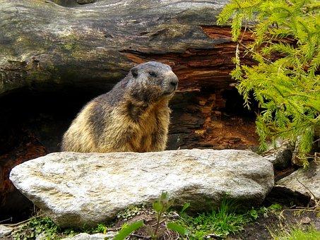 Marmot, Rodent, Alpine, Switzerland, Animal