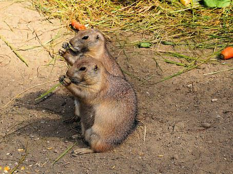 Marmots, Gophers, True Gophers, Marmota, Rodents