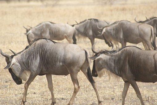 Wildebeest, Africa, Wildlife, Nature, Masai, Kenya