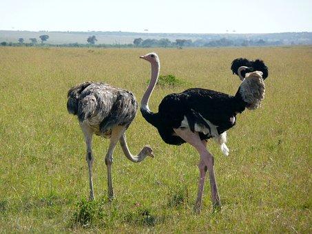 Ostrich, Kenya, Africa, Wildlife, Animal, Wild, Bird
