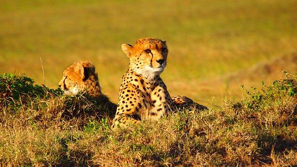 Cheetah, Africa, Animal, Kenya, Wildlife, Nature