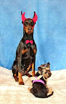 Devil, Angel, Dogs, Doberman, Yorkshire Terrier