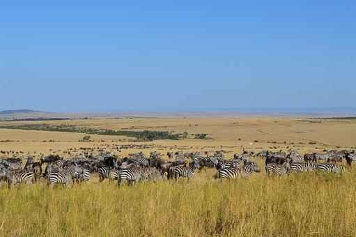 Safari, Zebra, Wildlife, Nature, Animal, Mammal, Game