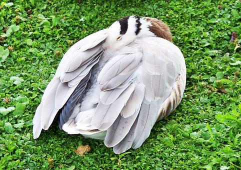 Bar-headed Goose, Goose, Anser Indicus