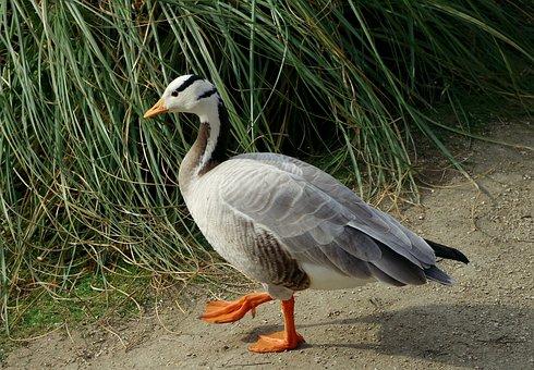 Anser Indicus, Bar-headed Goose, Goose, Bird, Wildlife