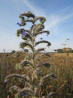 Echium Vulgare, Blueweed, Vipers Bugloss, Flora