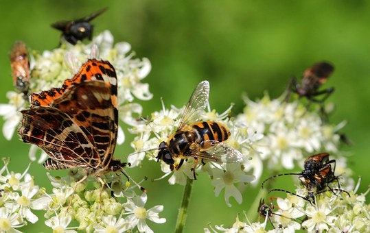 Wasp, House Feldwespe, Polistes Dominulus, Butterfly