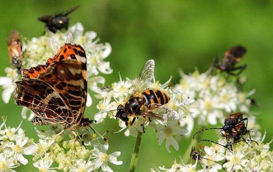 Wasp, House Feldwespe, Polistes Dominulus, Butterfly