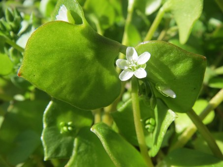 Claytonia Perfoliata, Indian Lettuce, Spring Beauty