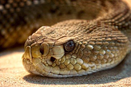Rattlesnake, Toxic, Snake, Dangerous, Terrarium, Viper