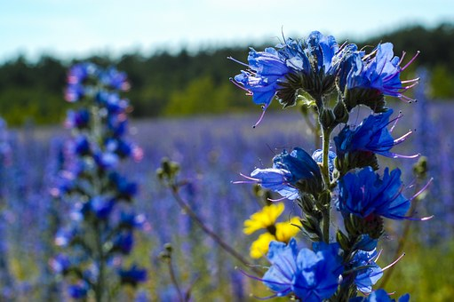 Viper's Bugloss, Gotland, Bed, Field, Nature, Spring