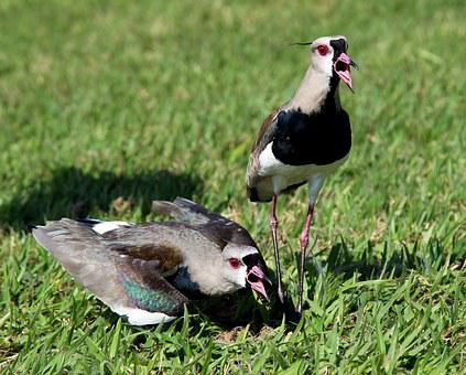 Birds, Quero-quero, Nest, Wild, Brave, Flyer, Brazilian