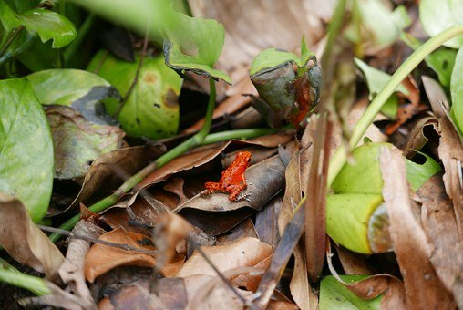 Frog, Red Frog, Poison Dart Frog, Animal, Tropical, Red