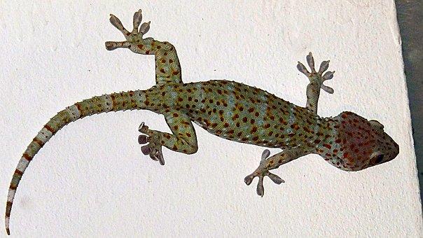 Gecko, Tokay Gecko, Gouni