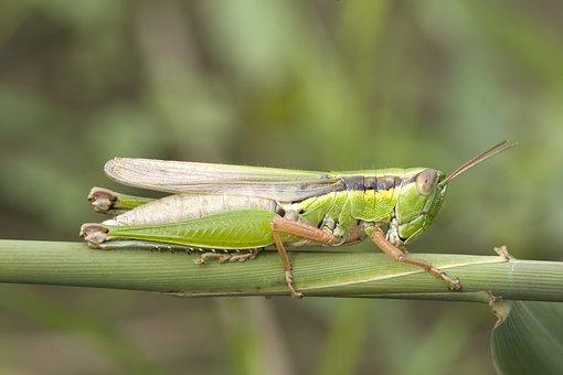 Grasshopper, Migratory Locust, Acrididae
