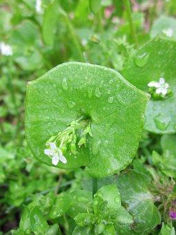 Claytonia Perfoliata, Indian Lettuce, Spring Beauty