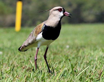 Quero-quero, Bird, On The Grass, Nest, Wild, Tropical