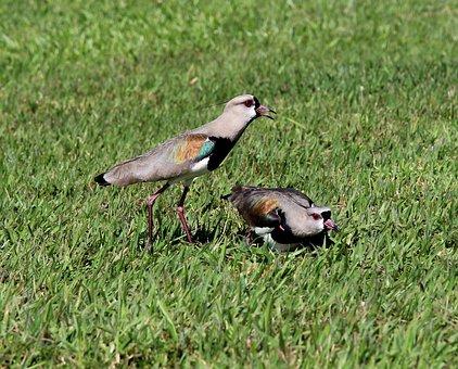 Quero-quero, Birds, On The Grass, Nest, Wild, Tropical