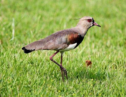 Quero-quero, Bird, On The Grass, Walking, Wild