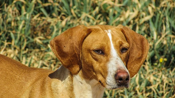 Dog, Vizla, Brown, Stray, Portrait, Face, Looking