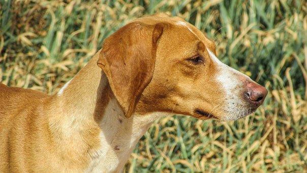 Dog, Vizla, Brown, Stray, Portrait, Looking, Fields