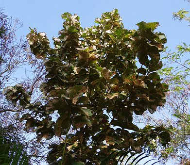 Tectona Grandis, Teak, Tree, Deciduous, Broad-leaved
