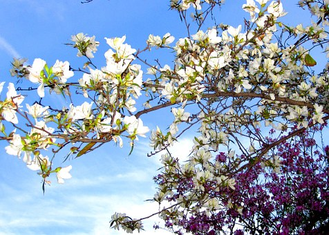 Flowers, Turia, Valence, Purple, White, Tree