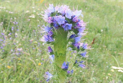 Blue, Blueweed, Bugloss, Echium, Flowers, Herbs, Vipers