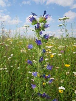 Echium Vulgare, Viper's Bugloss, Blueweed, Wildflower