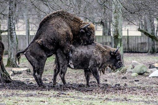 Białowieża, Bison, Demonstration Reserve