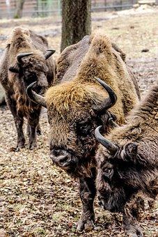 Bison, Demonstration Reserve, Lowland Wisent