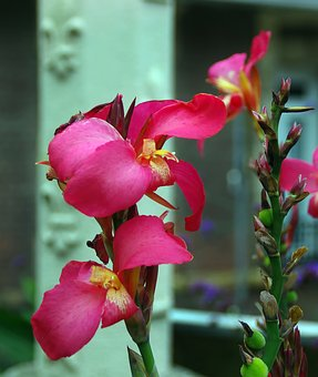 Canna, Cannaceae, Red Balisier, Pink Flower, Plant