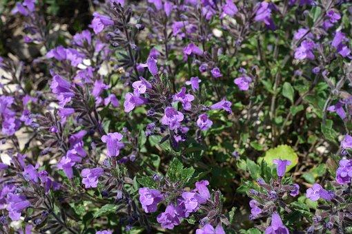 Acinos Alpinus, Flower, Blossom, Bloom, Violet