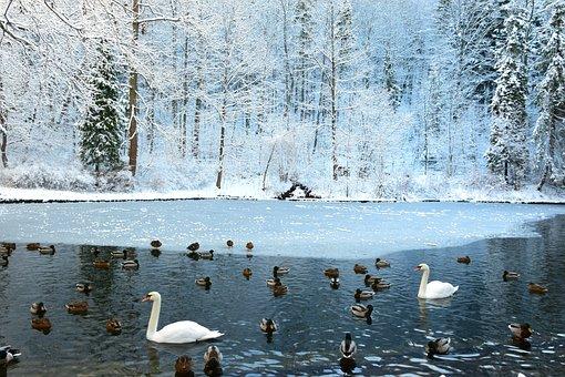Swans, Frozen Pond, Fount Mountain In Winter