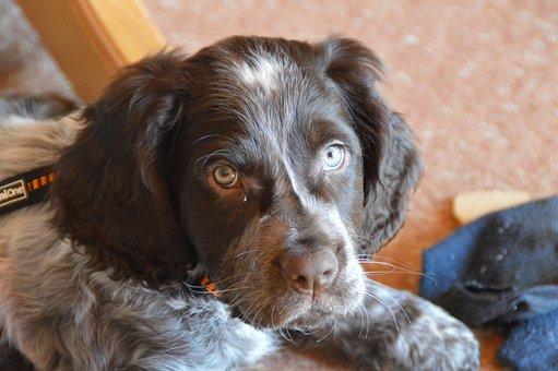Dogs, German Quail, Puppy