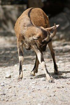 Animal, Goat, Sarna