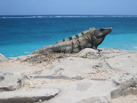 Lizard, Iguana, Tulum, Mexico, Beach