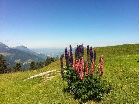 Lupine, Mountain Flower, Alps, Haute-savoie