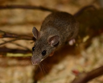 Mouse, Nager, Rodent, Shrew, Grey Brown, Small, Sweet