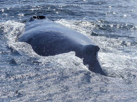 Humpback Whale, Back, Diving, Natural Spectacle, Nature