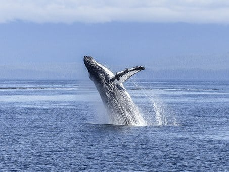 Humpback Whale, Natural Spectacle, Nature, Mammal